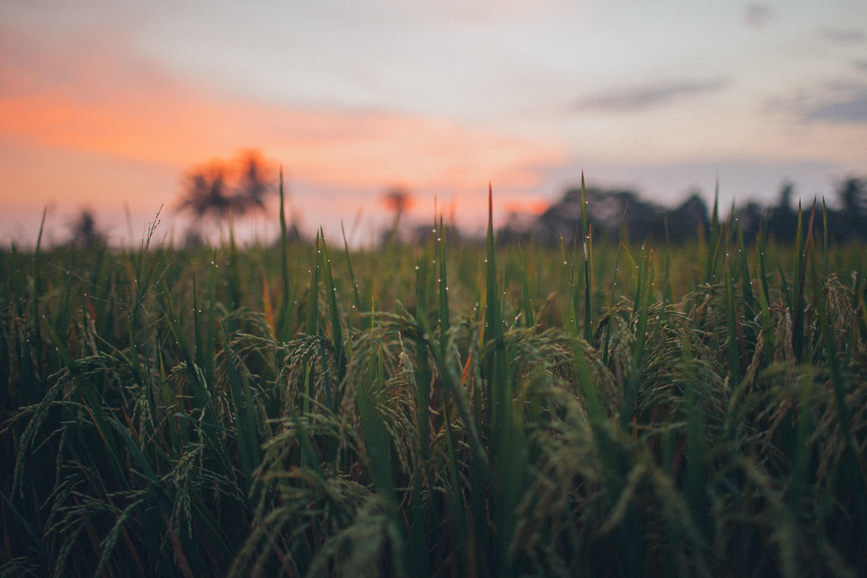 Sustainable Rice Farming