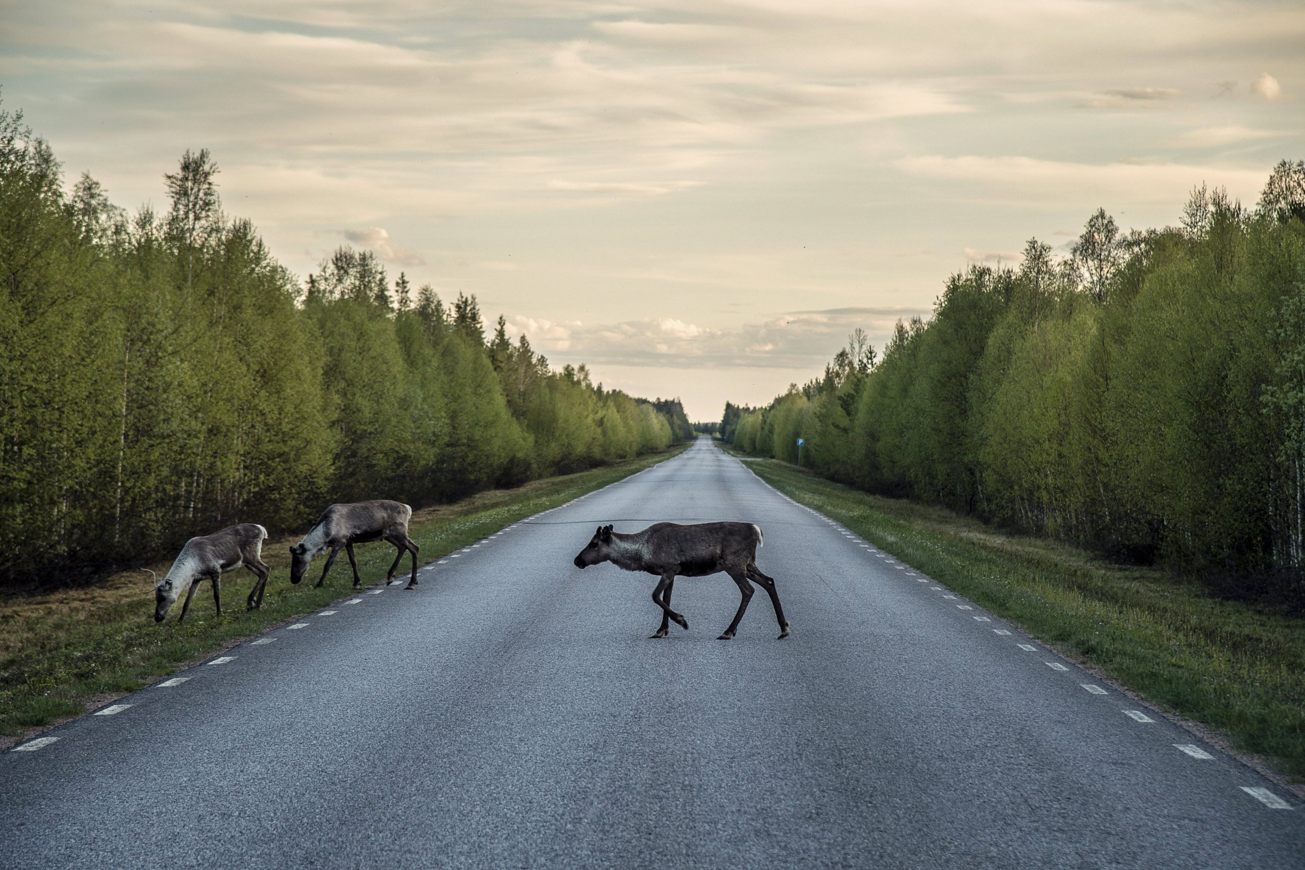 Rentiere in Schweden