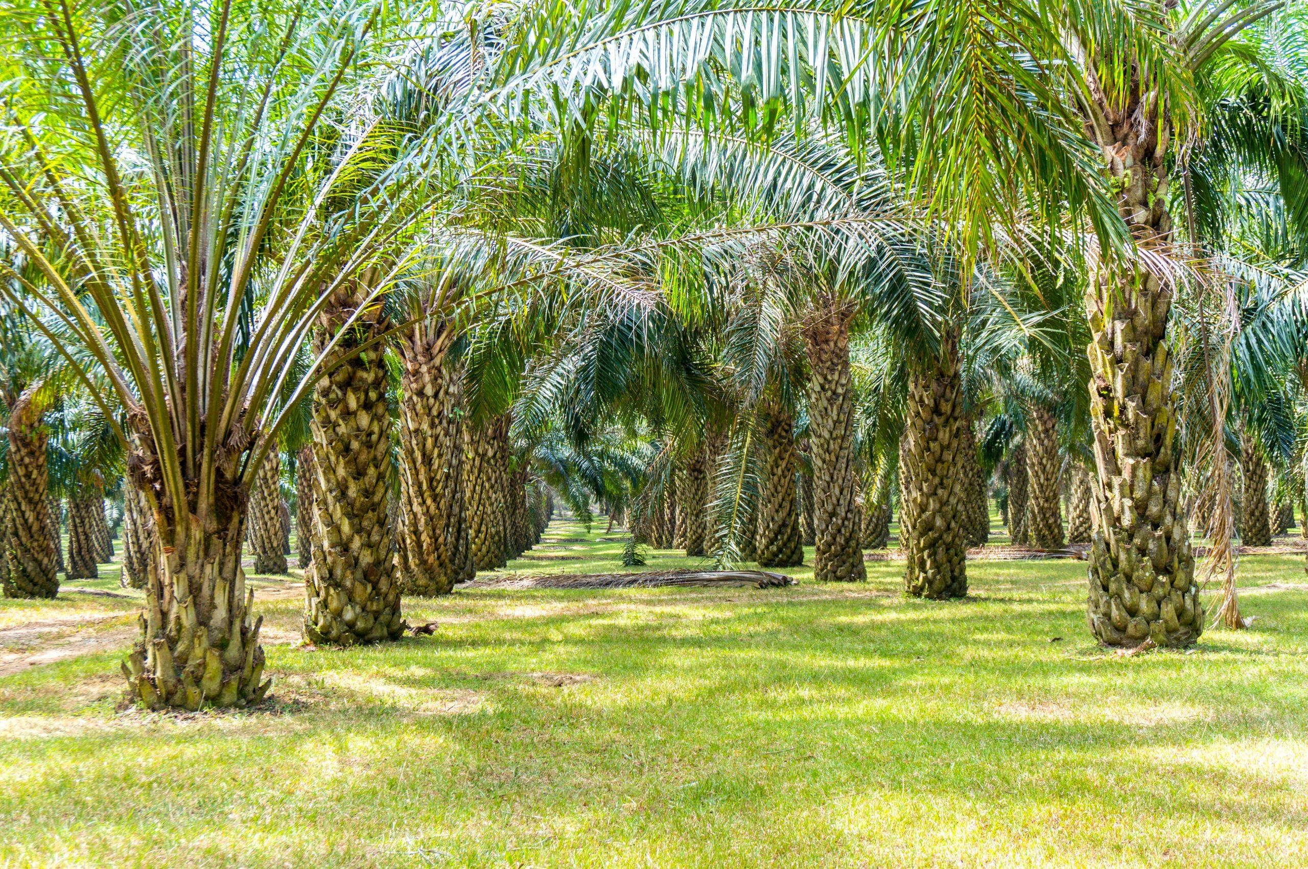 Viele Palmöl-Pflanzen sind zu sehen.
