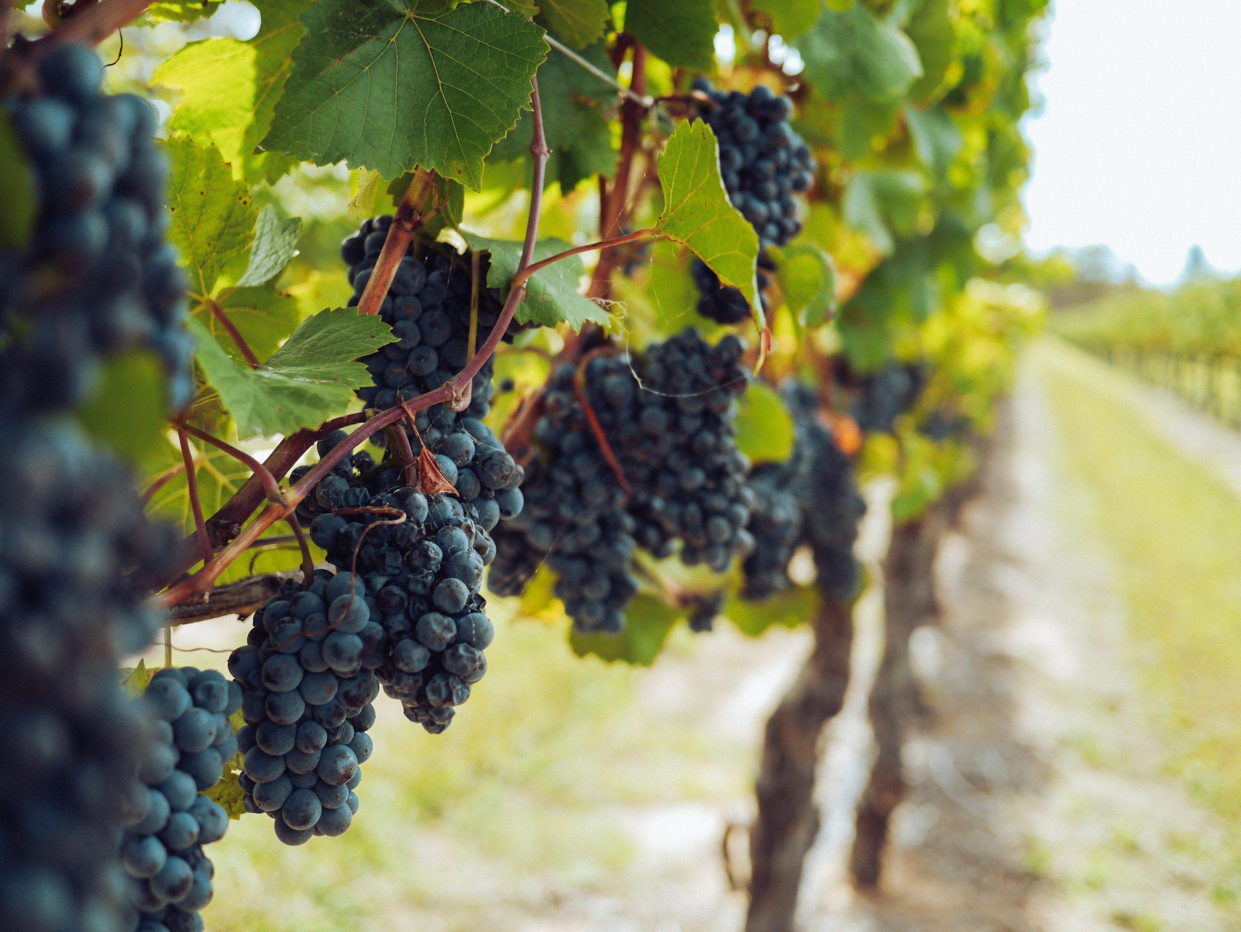 Dunkele Weintrauben hängen von Weinreben herunter.